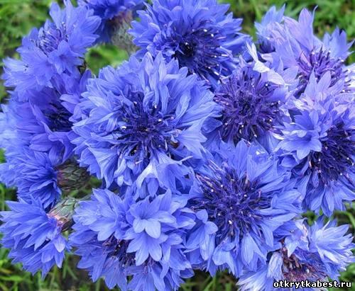 Васильки полевые цветы пушистый букет