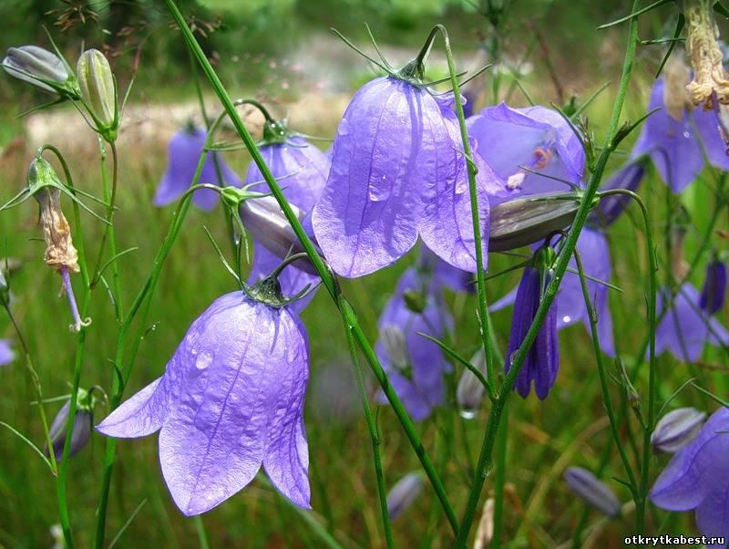 Фото цветы полевые колокольчики
