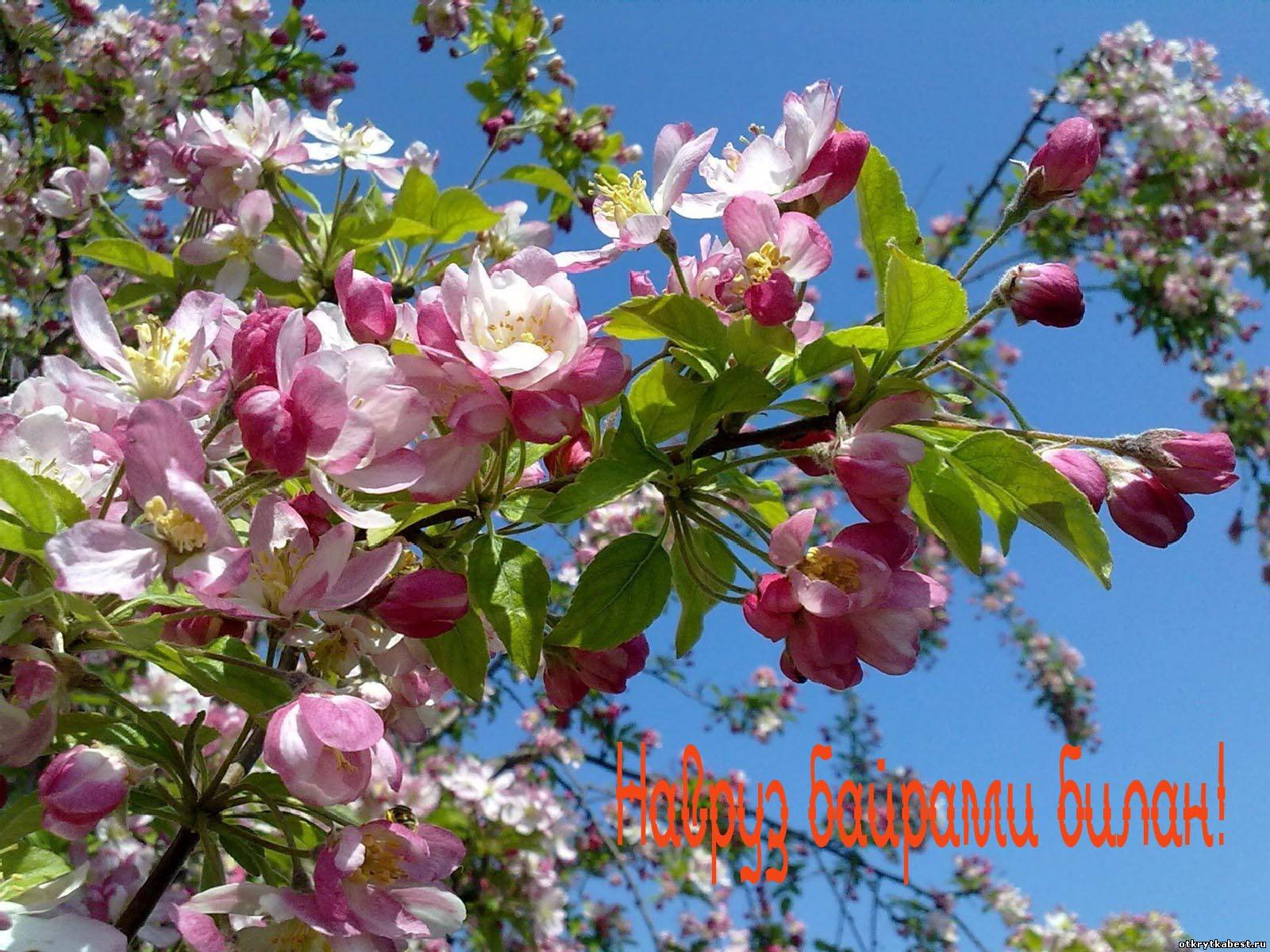 Яблоня в цвету картинки
